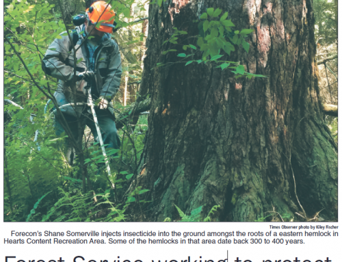 Forest Service working to protect 'old growth' hemlocks from pest