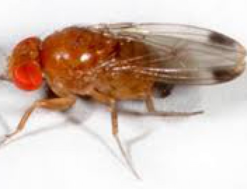 Pennsylvania Insect and Disease Update: Spotted-winged Drosophila — SWD