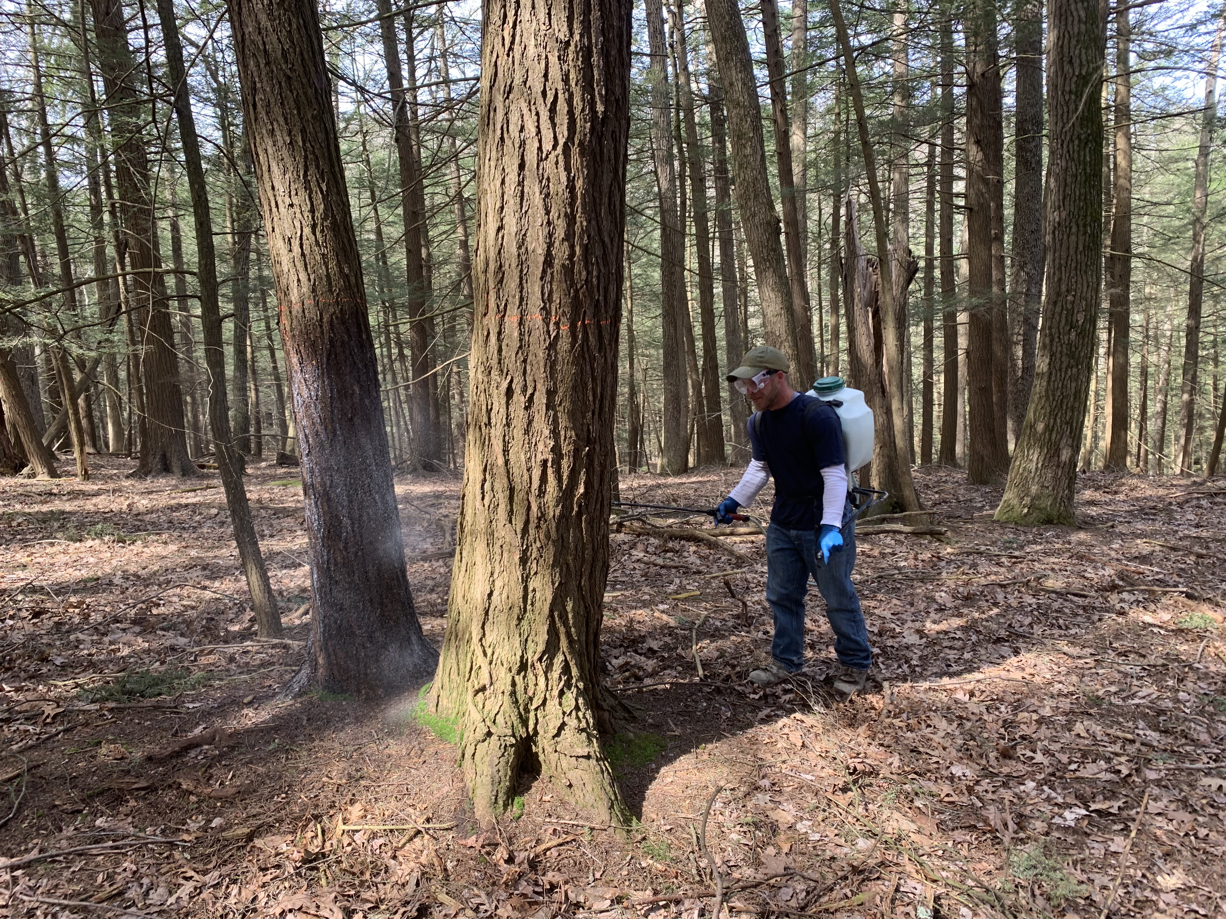 FORECON, Inc. has completed FORECON treats 3 State Parks to suppress the Hemlock Wooly Adelgid