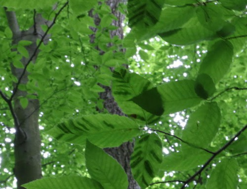 New Disease Killing American Beech Trees