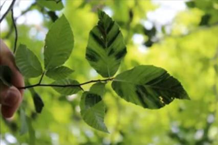 Beach leaf disease (BLD)